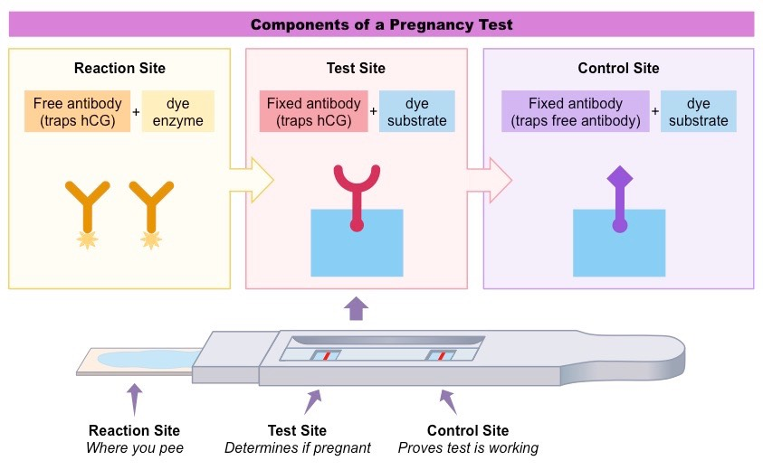Pregnancy test. How does it work